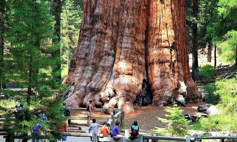 Самые старые деревья на земле. Список и описание