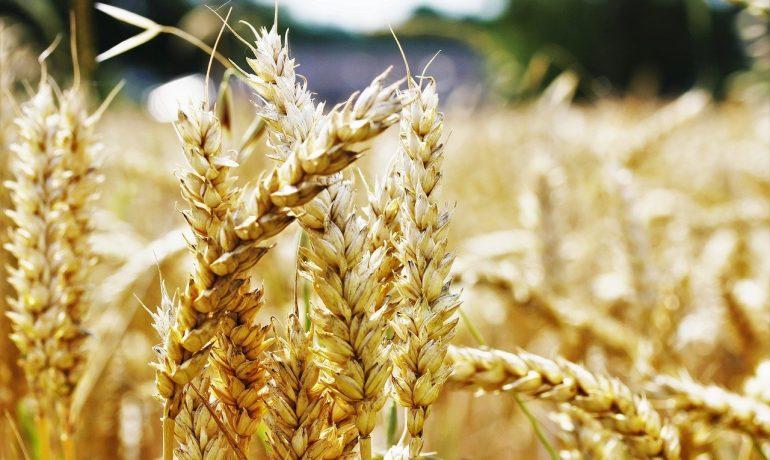 Пшеница. Враг организма