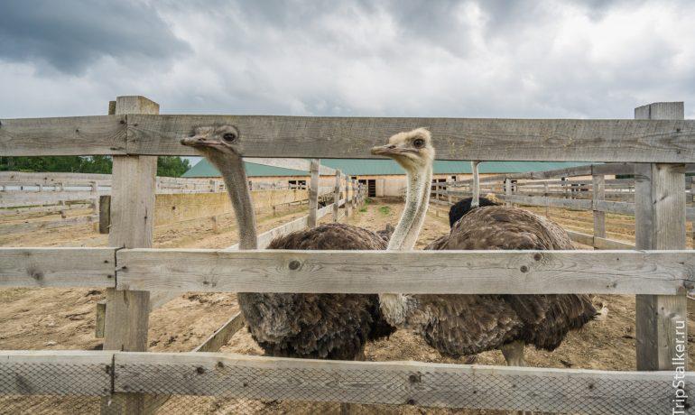 """Что посмотреть в Израиле. Страусиная ферма в Негев (Ostrich farm """"Oasis"""")"""