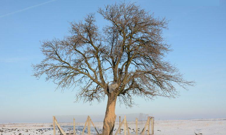 Ногайский родник и грушевое дерево в Авдарме