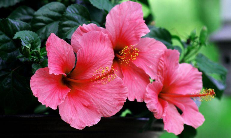 Гибискус: свойства и эффекты популярного растения с востока