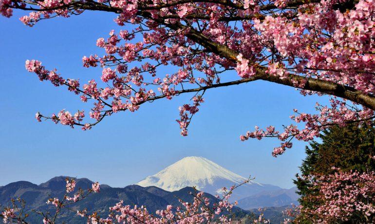 Сакура: легенда и духовное значение цветения японской сакуры