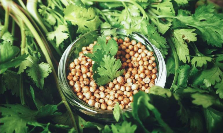 Кориандр: лечебные свойства и использование в кулинарии