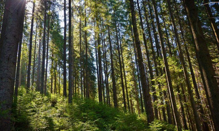 Девственные буковые леса Карпат