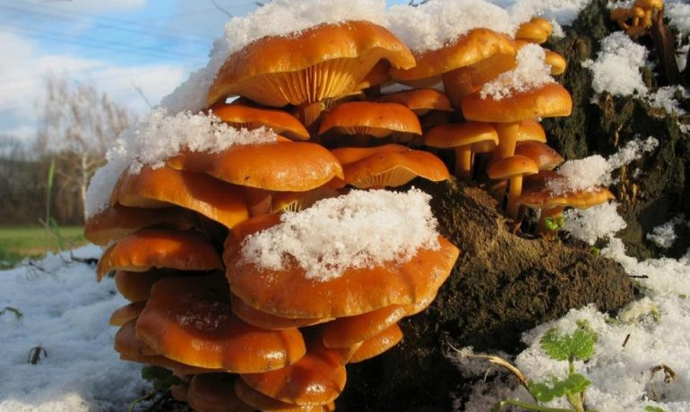 3 вида грибов Подмосковья, растущих в зимний период